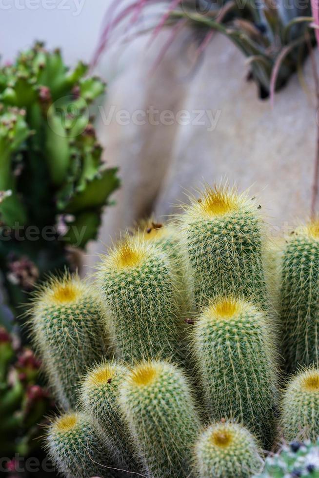 alle cactus foto