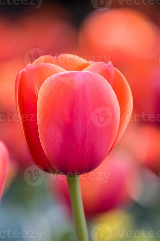 rode tulp stengels buiten foto