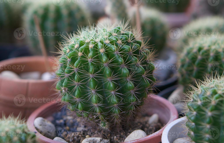 groene cactus in pot foto