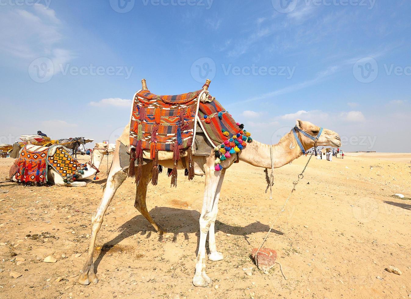 kameel op woestijn foto