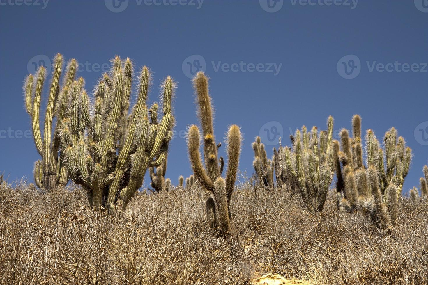 cactussen in de woestijn foto
