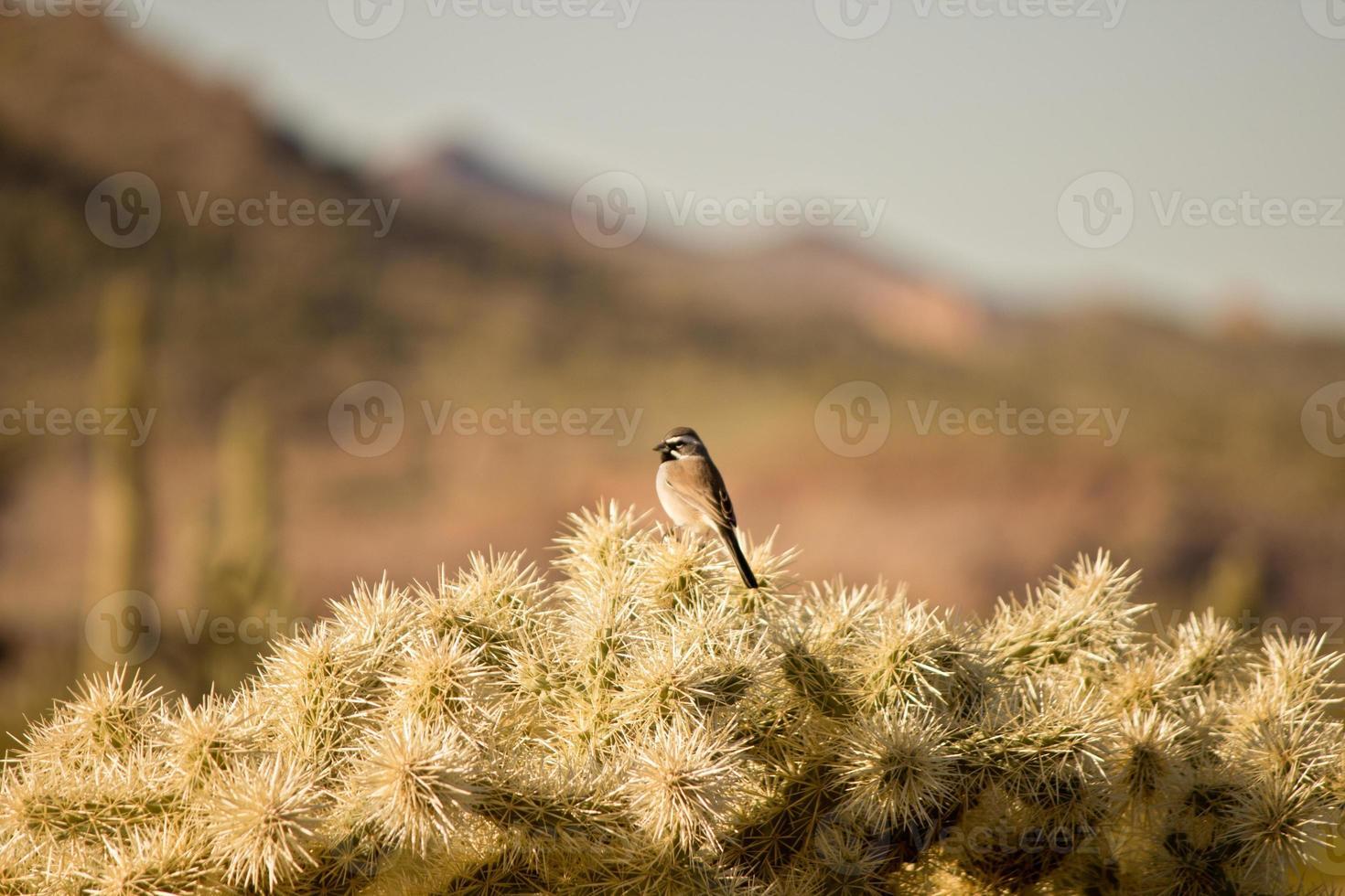 woestijn vogel foto