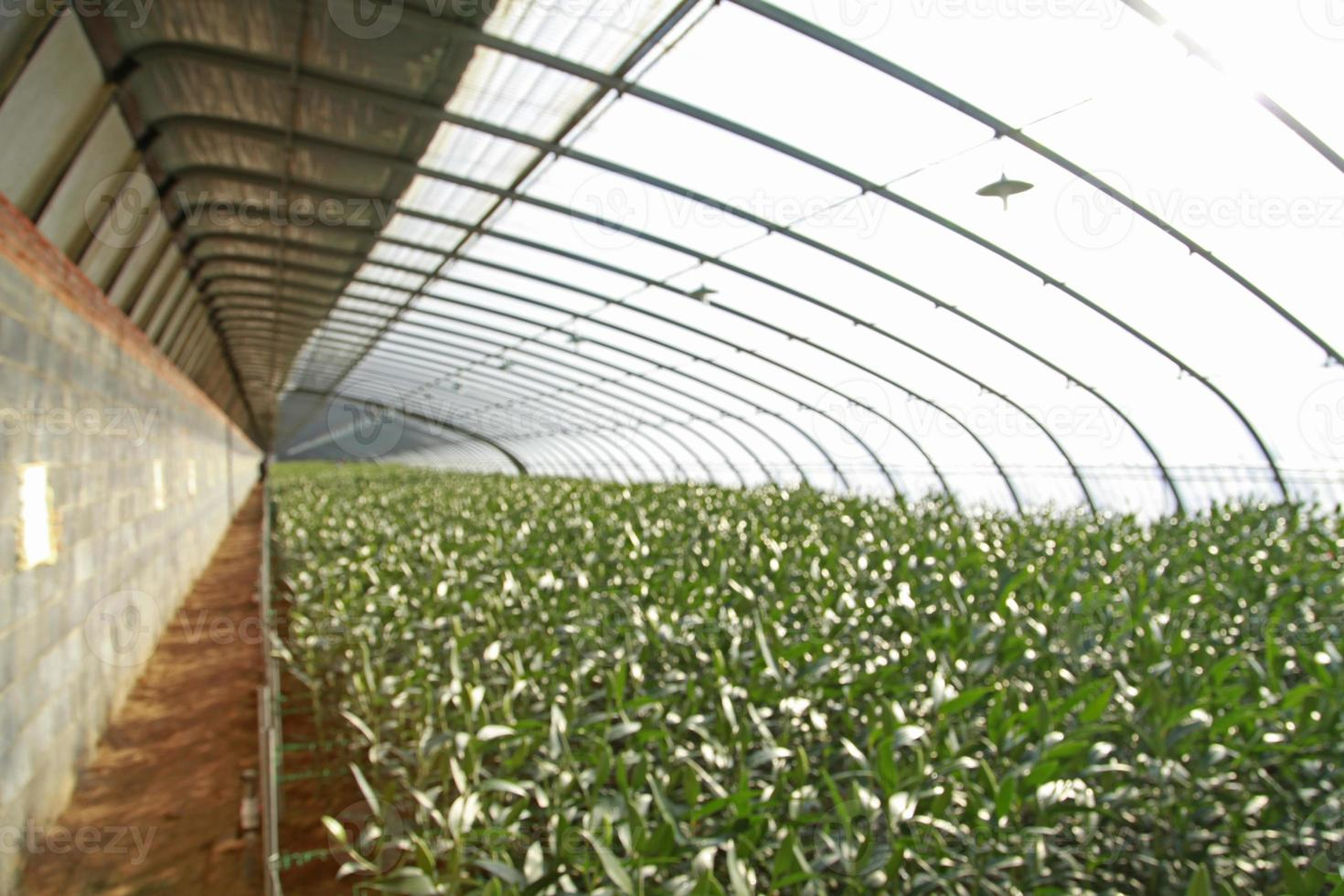 lelies worden geplant in kassen foto