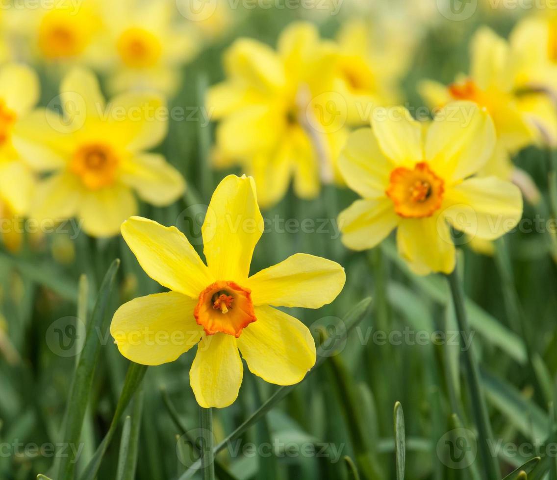 gele trompet narcissen in een narcis veld foto
