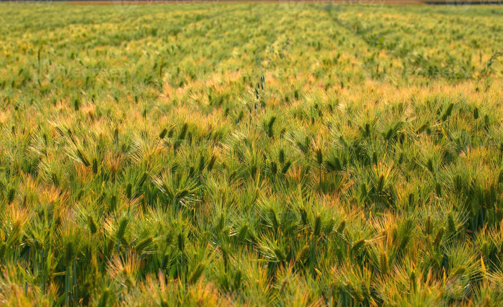gebied van tarwe, japan foto