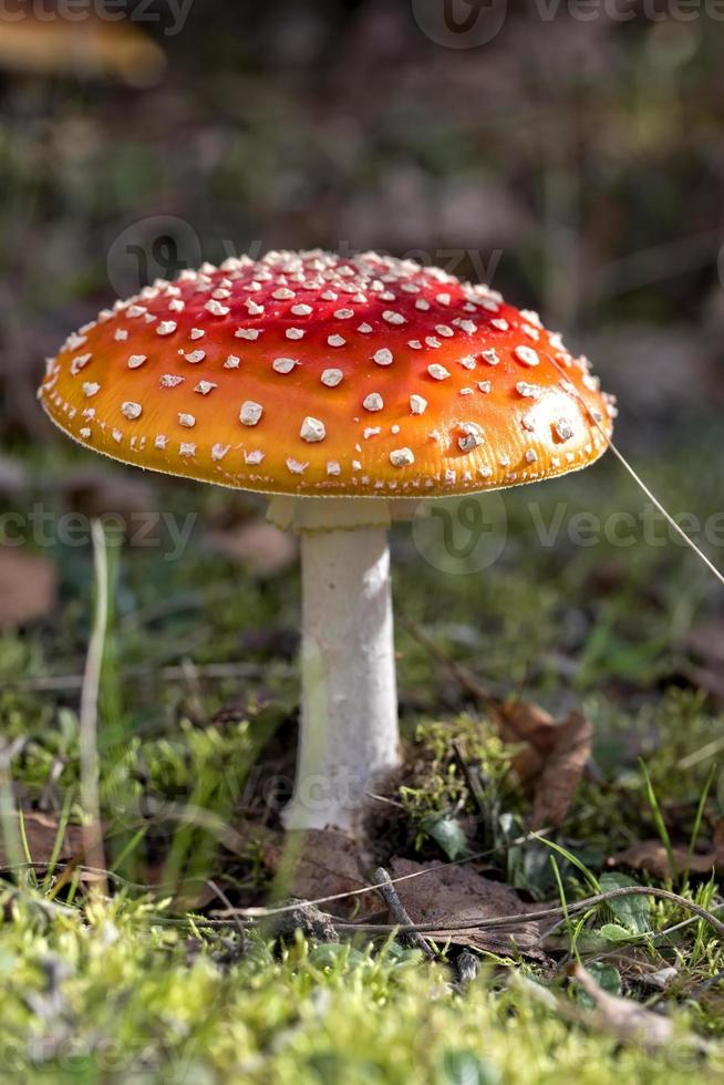 amanita muscaria in het bos foto