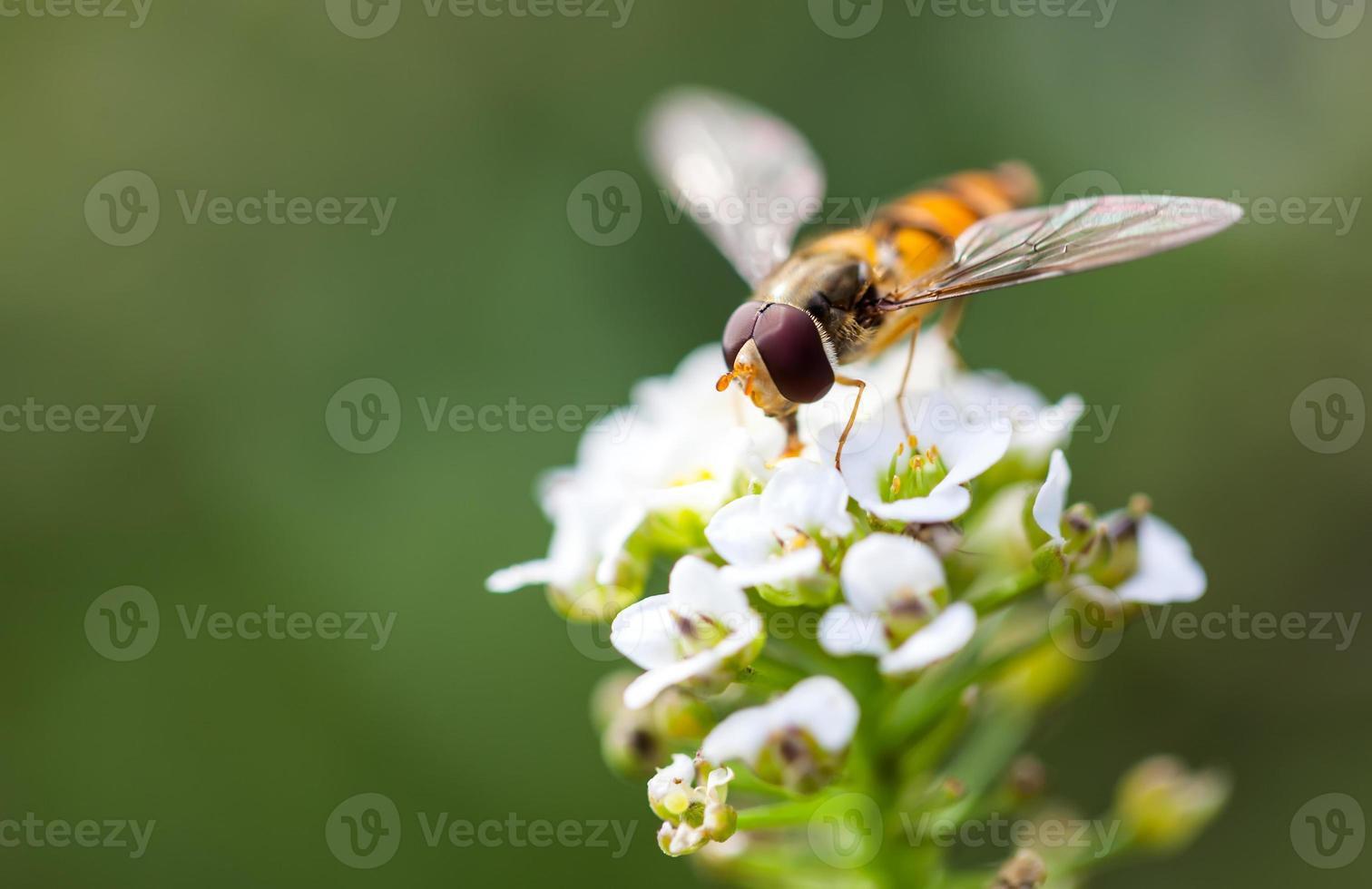 bij een witte bloemen zoete alyssum (lobularia maritima) foto