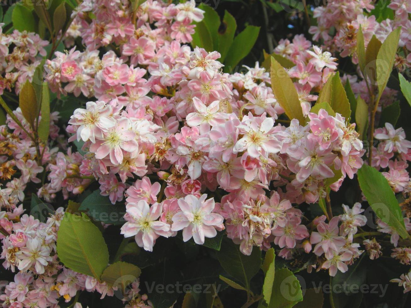 Indische Hawthorne (raphiolepis indica) foto