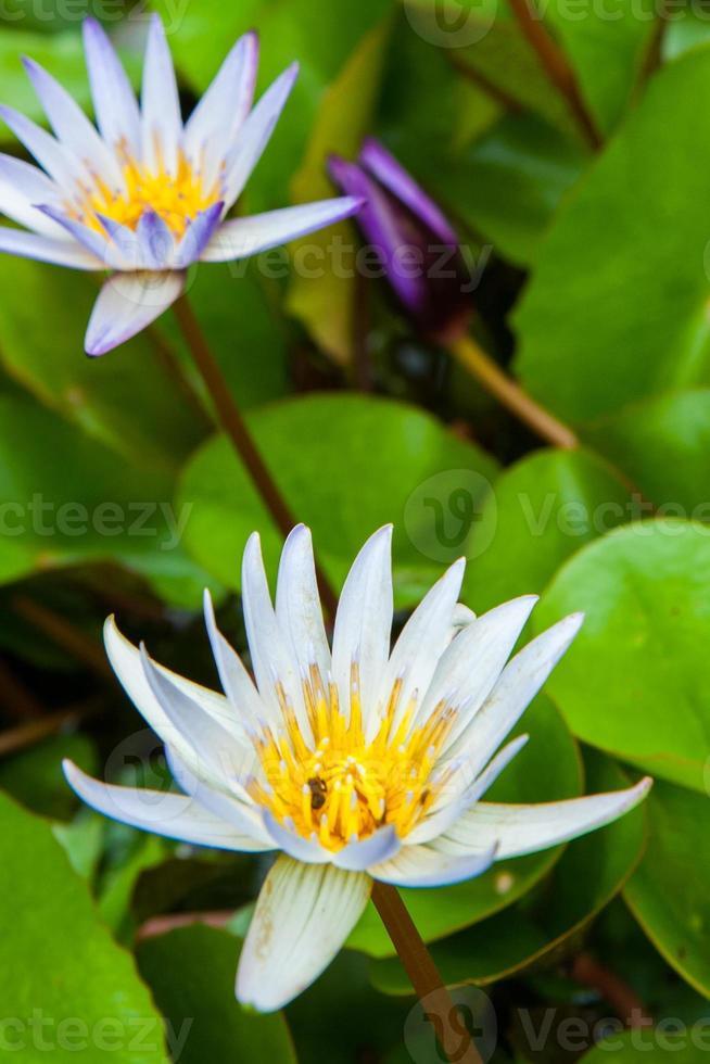 bloeiende lotusbloem in de tuin foto