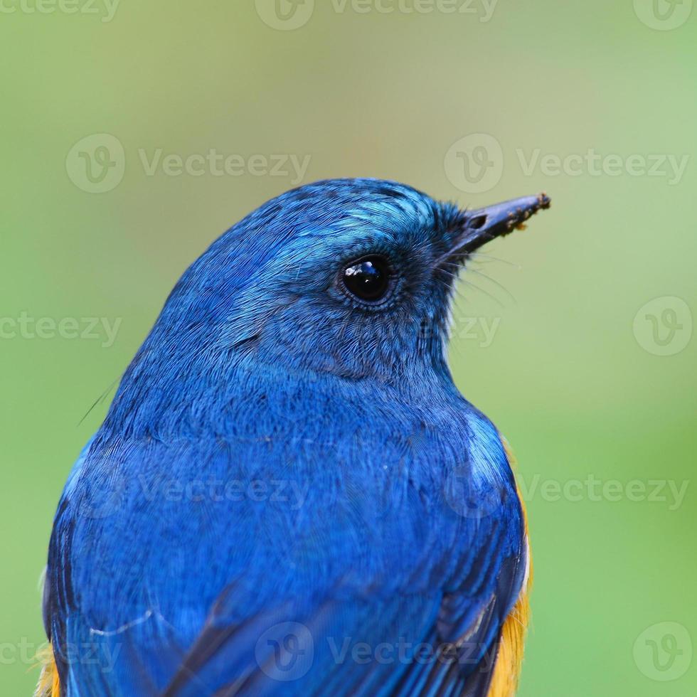 blauwe vogel, close-up, mannelijke Himalaya bluetail (tarsiger rufilatus) foto