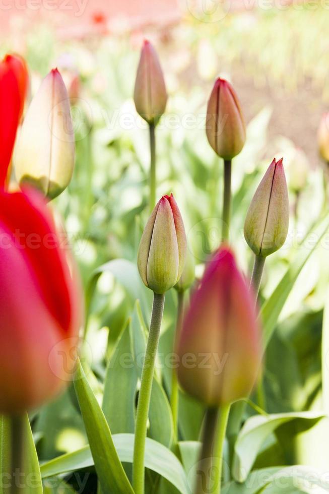 rode tulpen. de lente foto