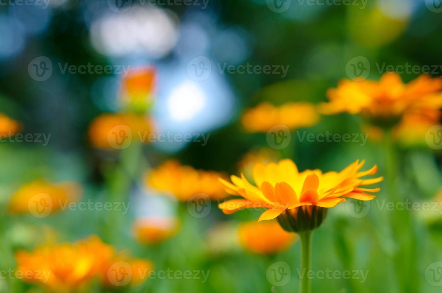oranje goudsbloem foto