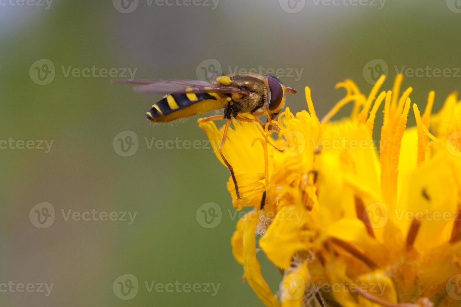 zweefvlieg op een paardebloembloem foto