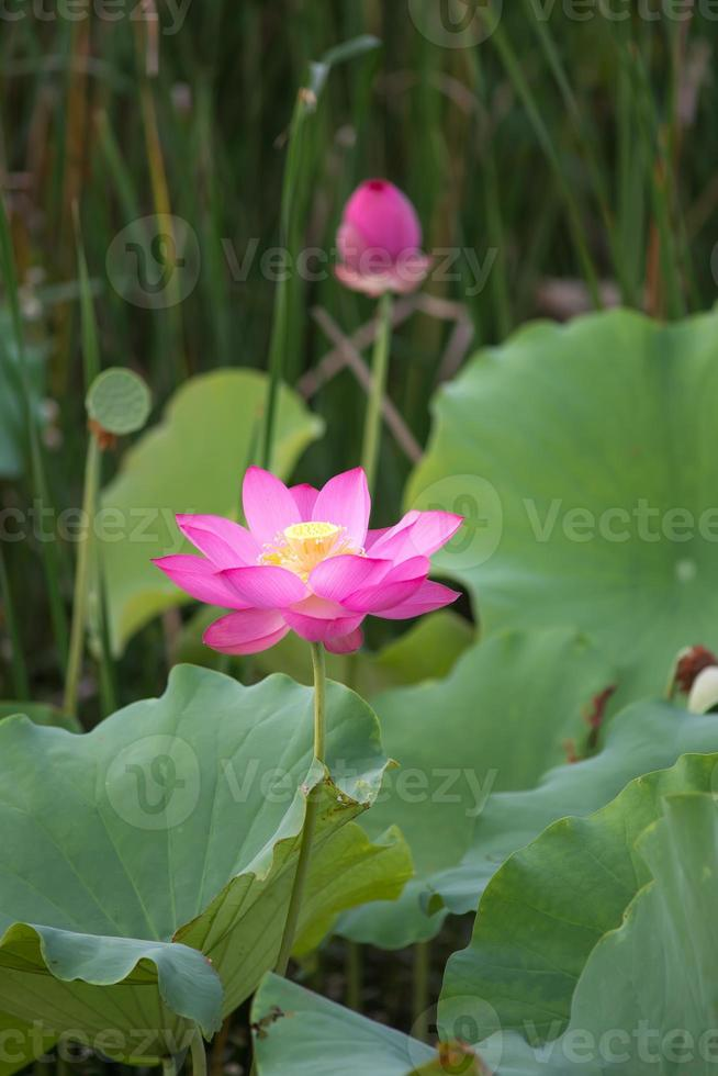bloeiende lotusbloem foto