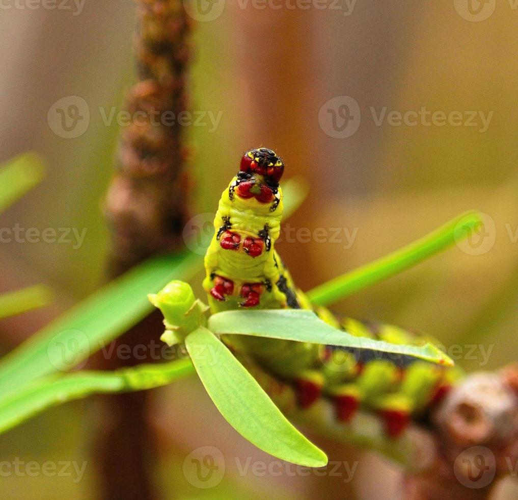 worm hyles euphorbiae die groene bladeren eet foto