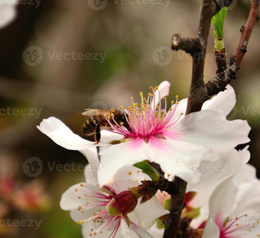 bijen verzamelen stuifmeel op amandelbloemen foto