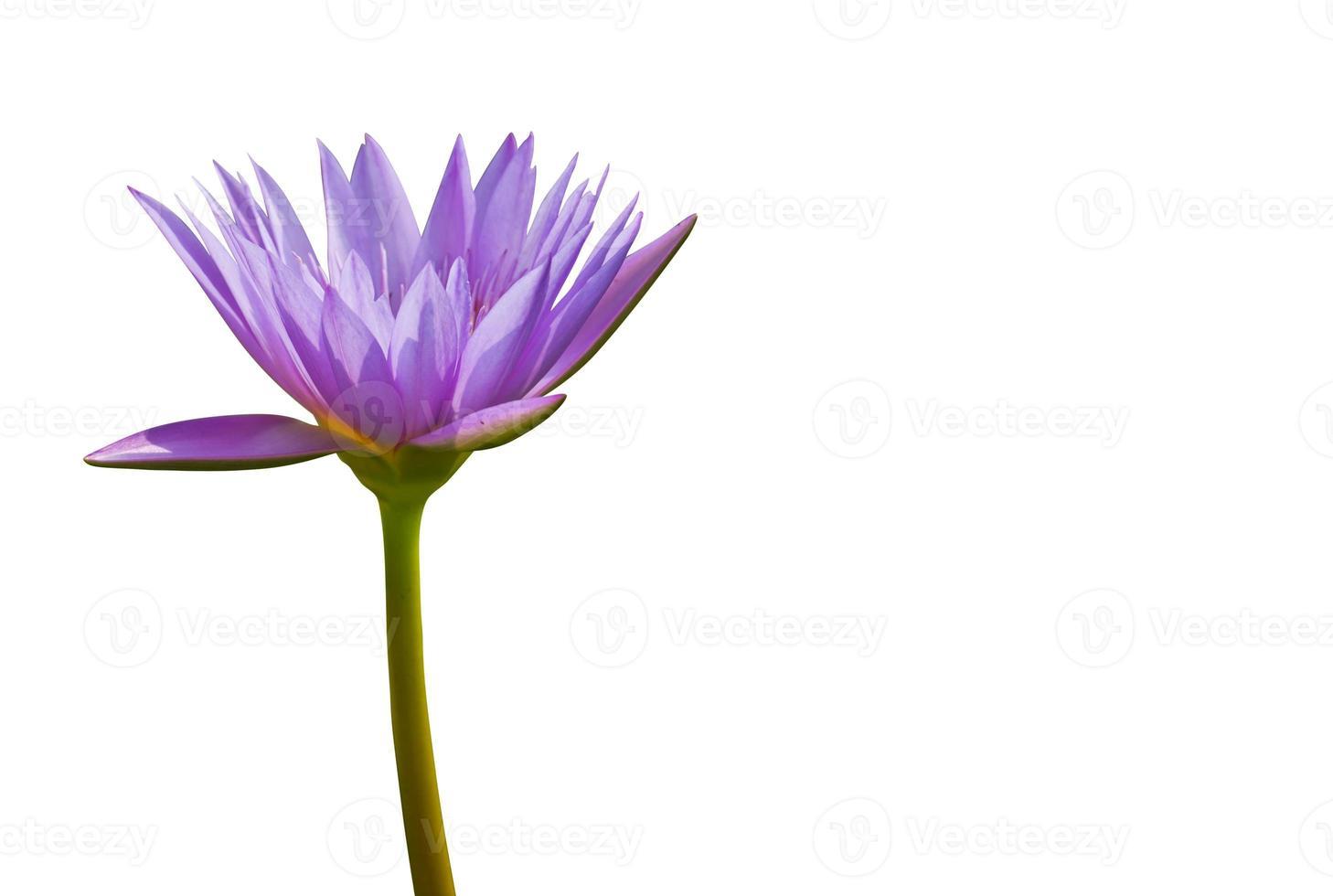 paarse lotus foto