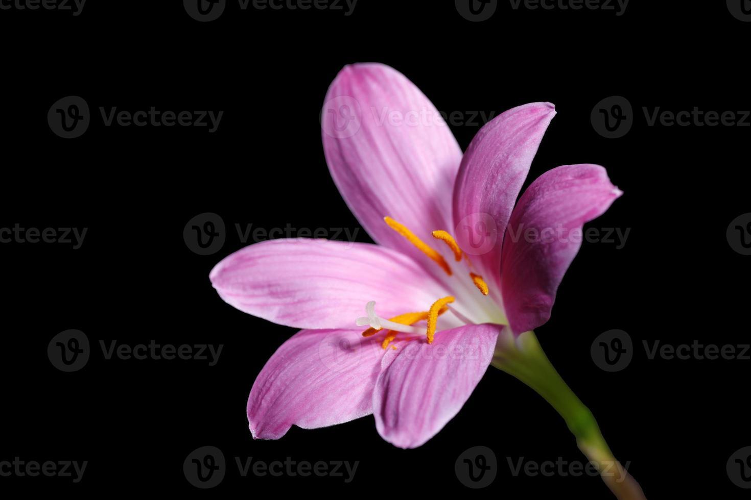 zephyranthes grandiflora foto