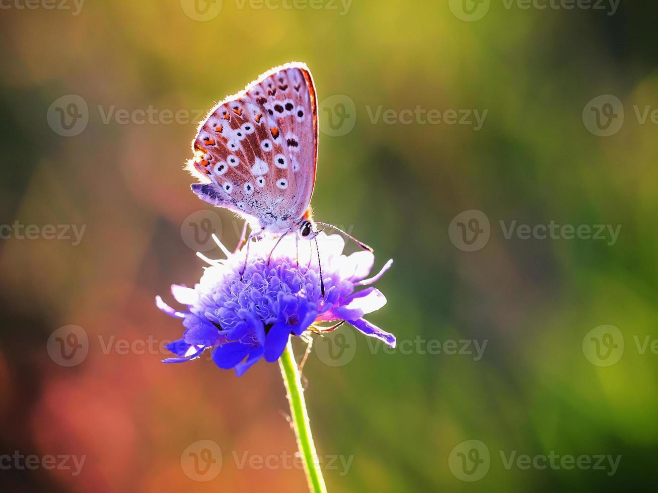 blauwe ragfijne gevleugelde vlinder in de avondzon foto