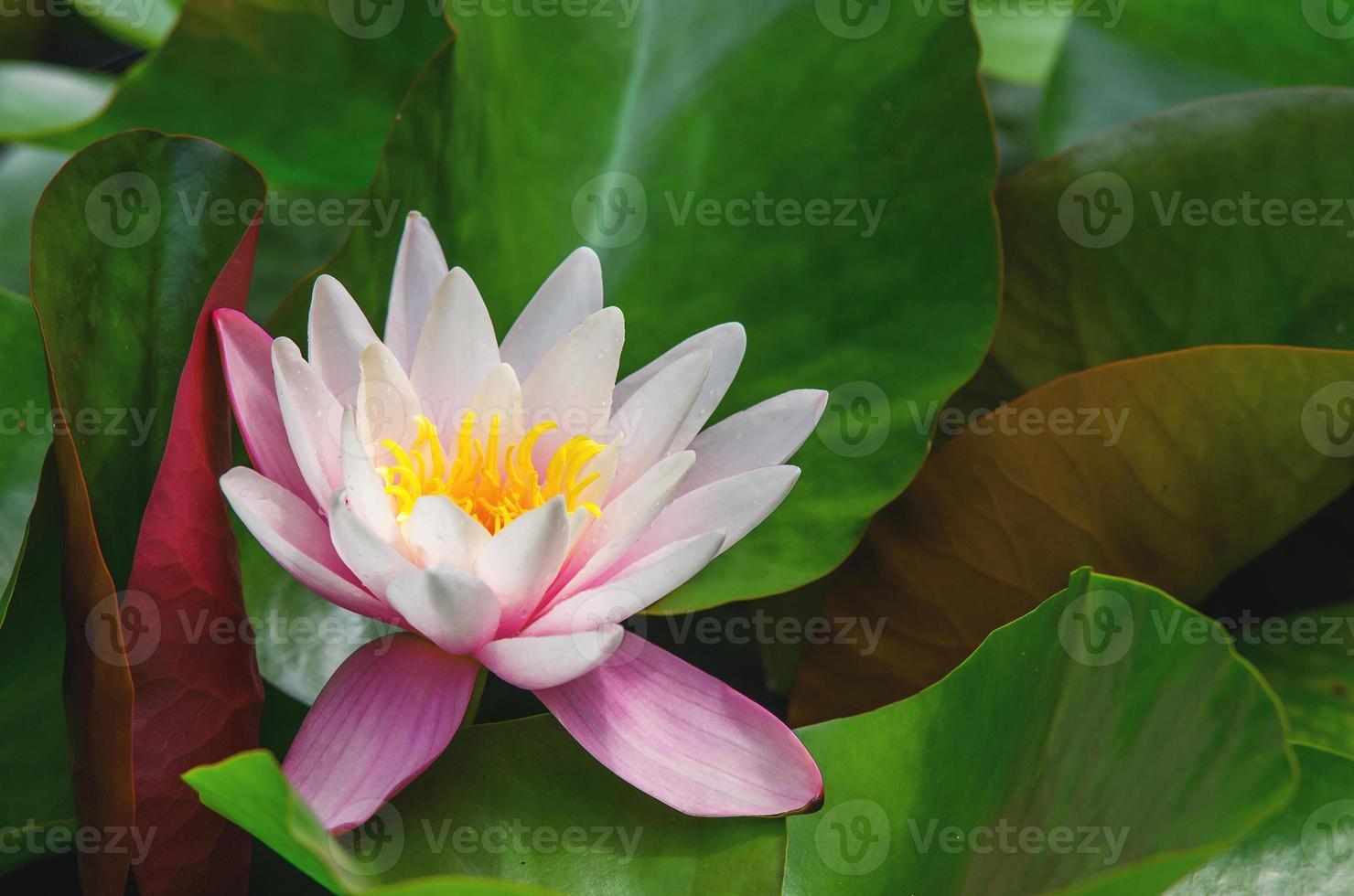 prachtige waterplant foto