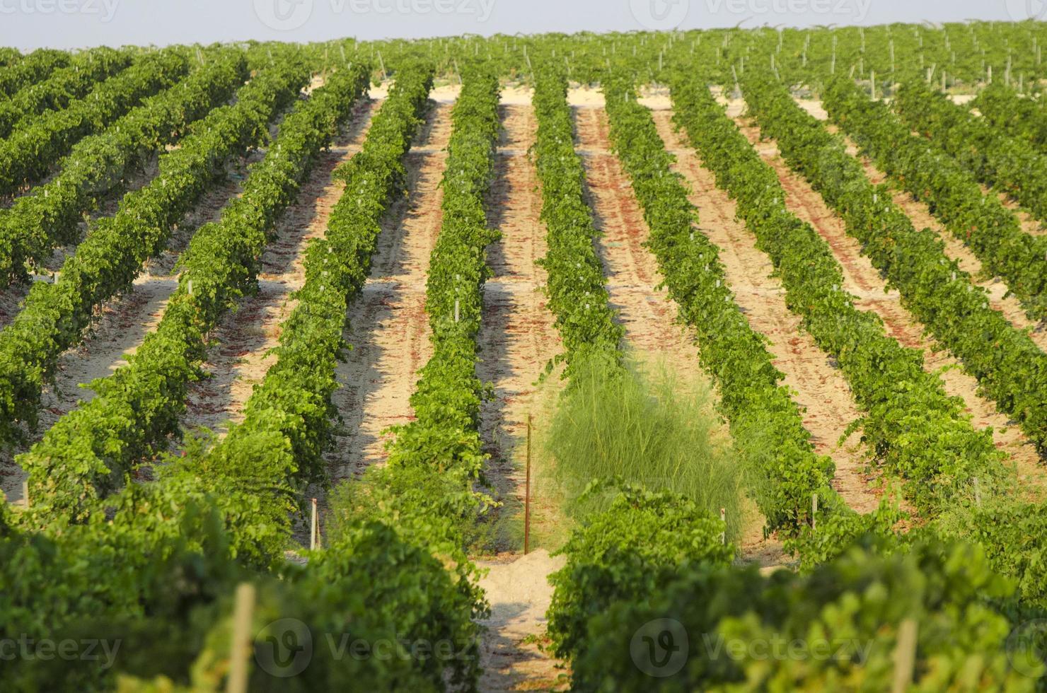 bloemrijke wijnstok foto