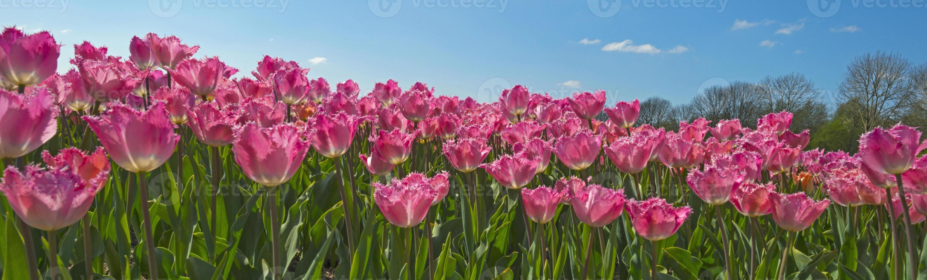 tulpen in een veld in het voorjaar foto