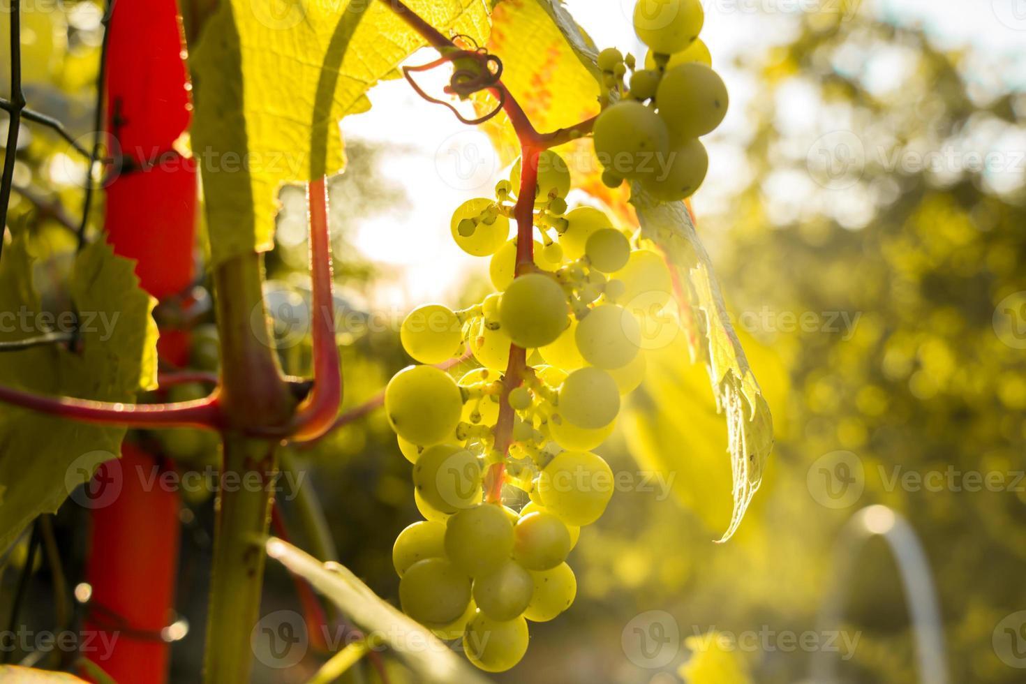 tros witte druiven in de ondergaande zon. foto