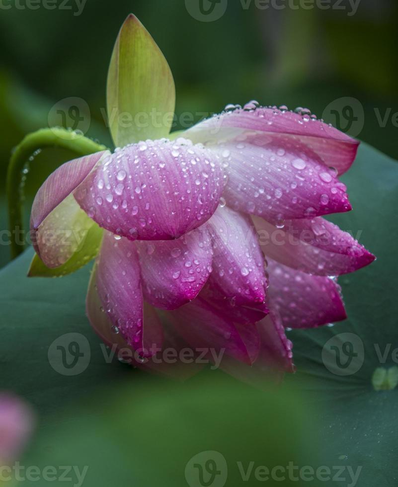 bloem: close-up mooie bloeiende lotus met bladeren waterdruppel foto