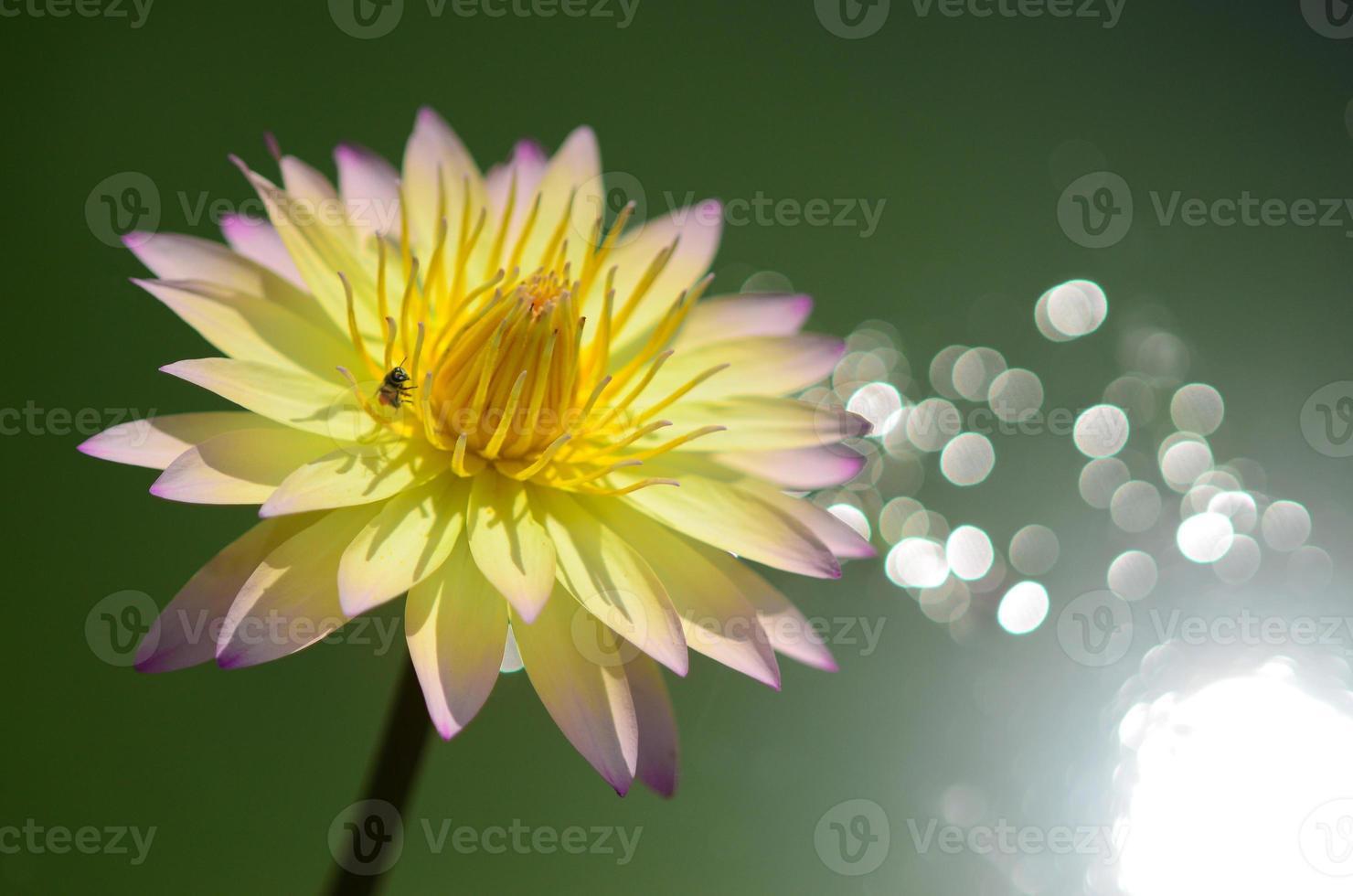lotus op water reflectie foto