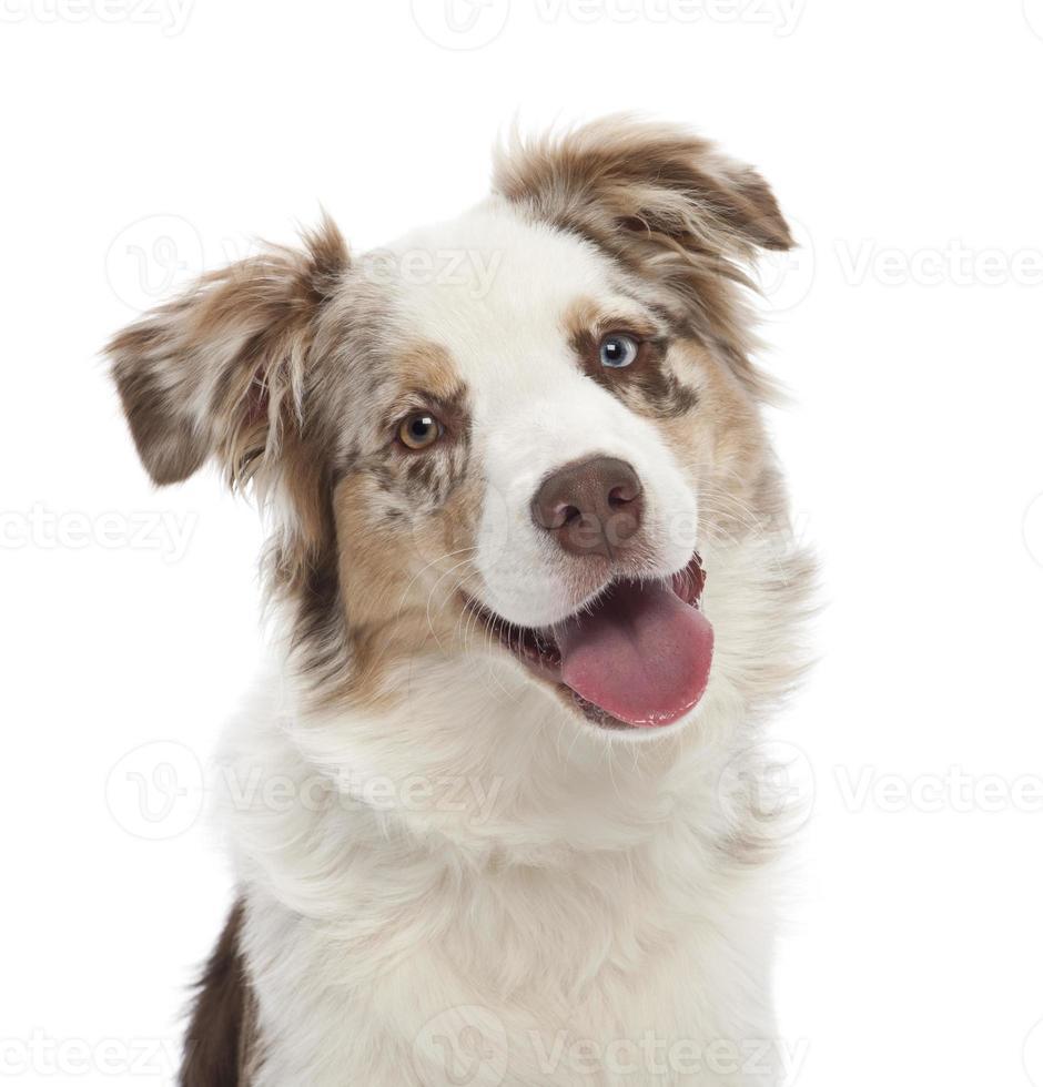 Australische herder pup, 6 maanden oud foto