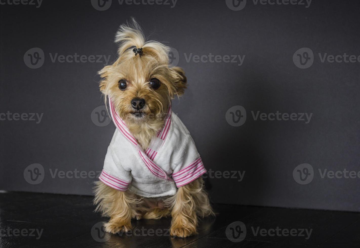 yorkie hond foto