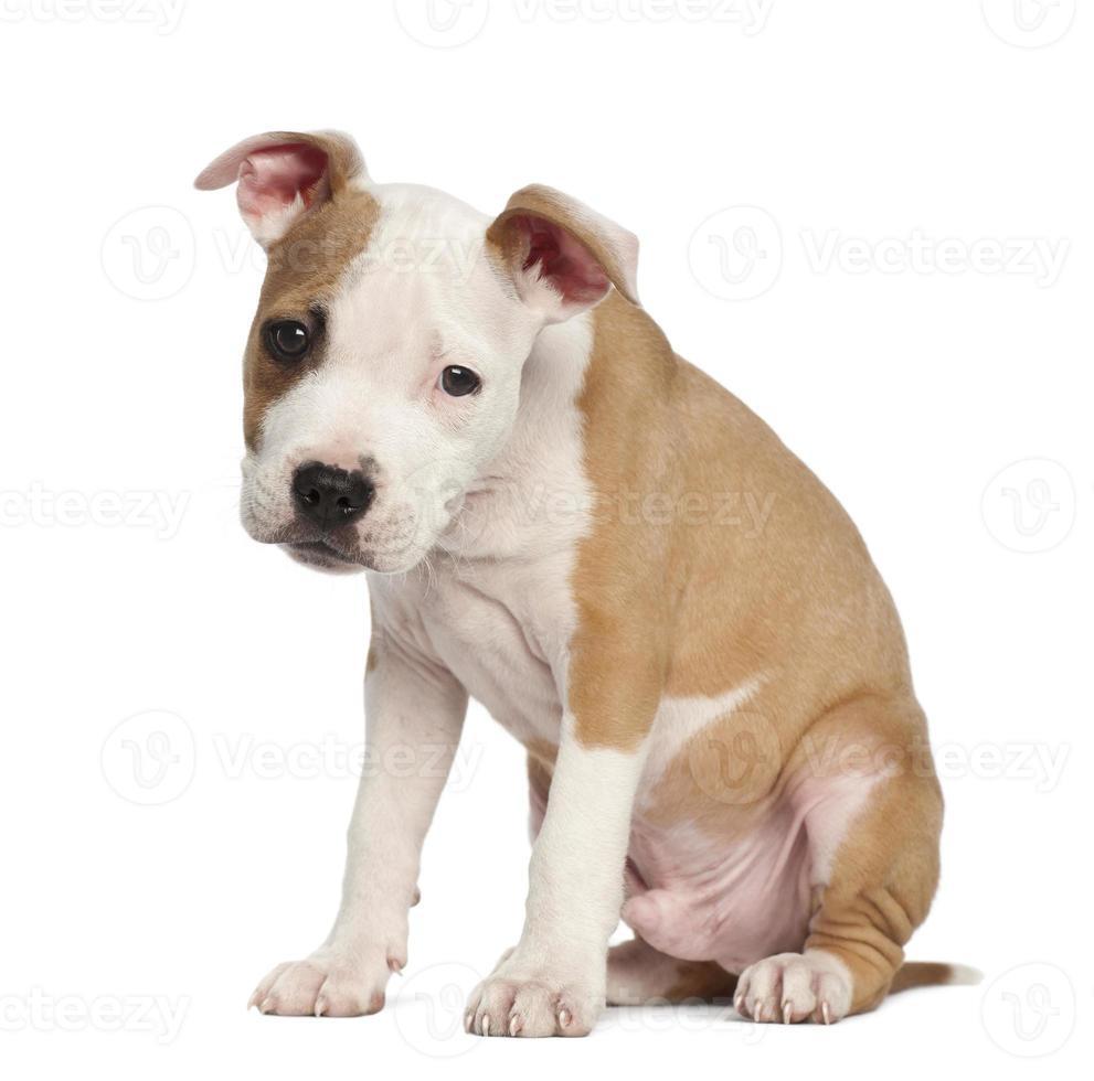 Amerikaanse Staffordshireterriër puppy, 2 maanden oud, zittend foto