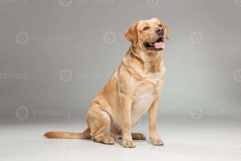 labrador ophalen op grijze achtergrond foto