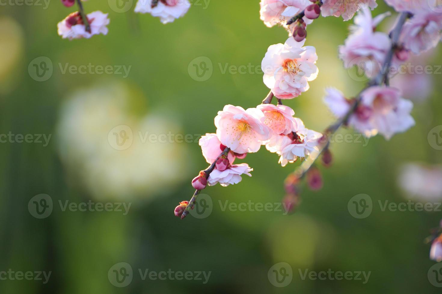 prachtige pruimenbloemen foto
