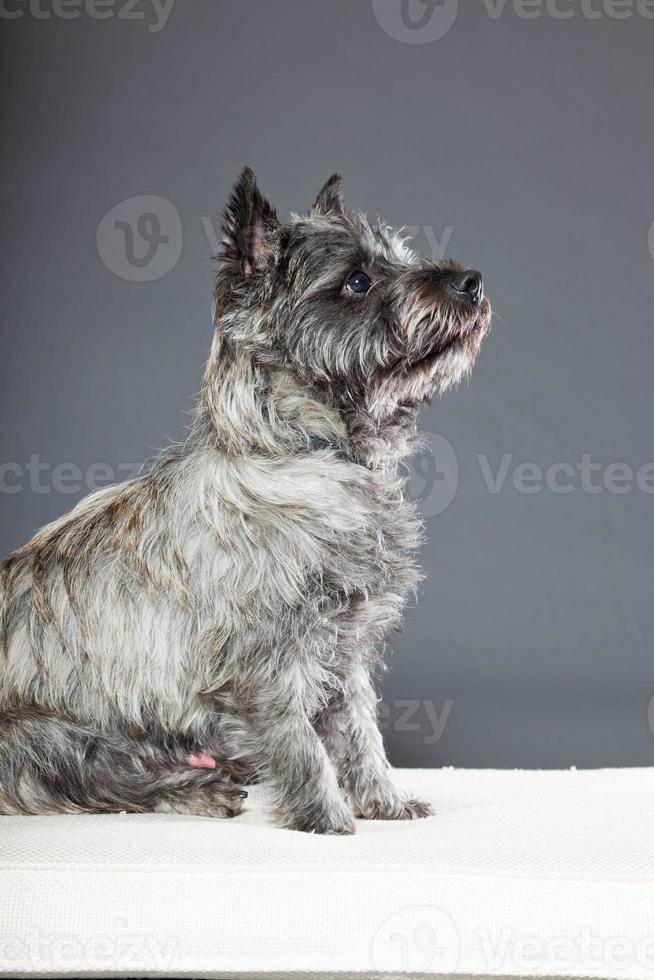 cairn terrier hond met grijze vacht. studio opname. foto
