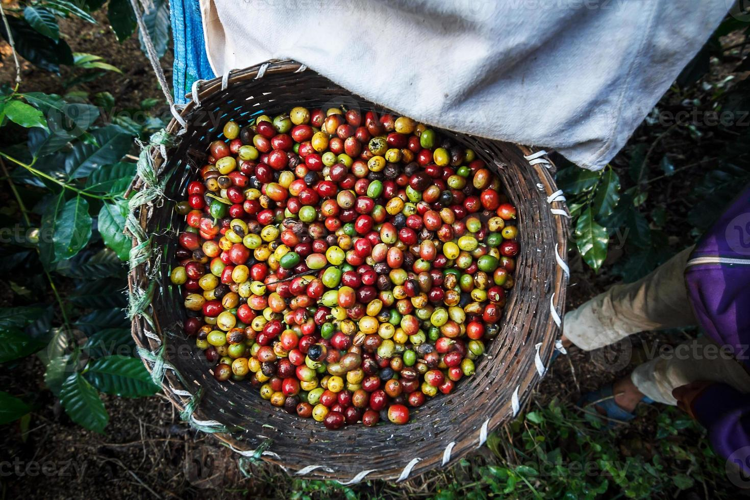 koffieboer rijpe kersenbonen plukken. foto