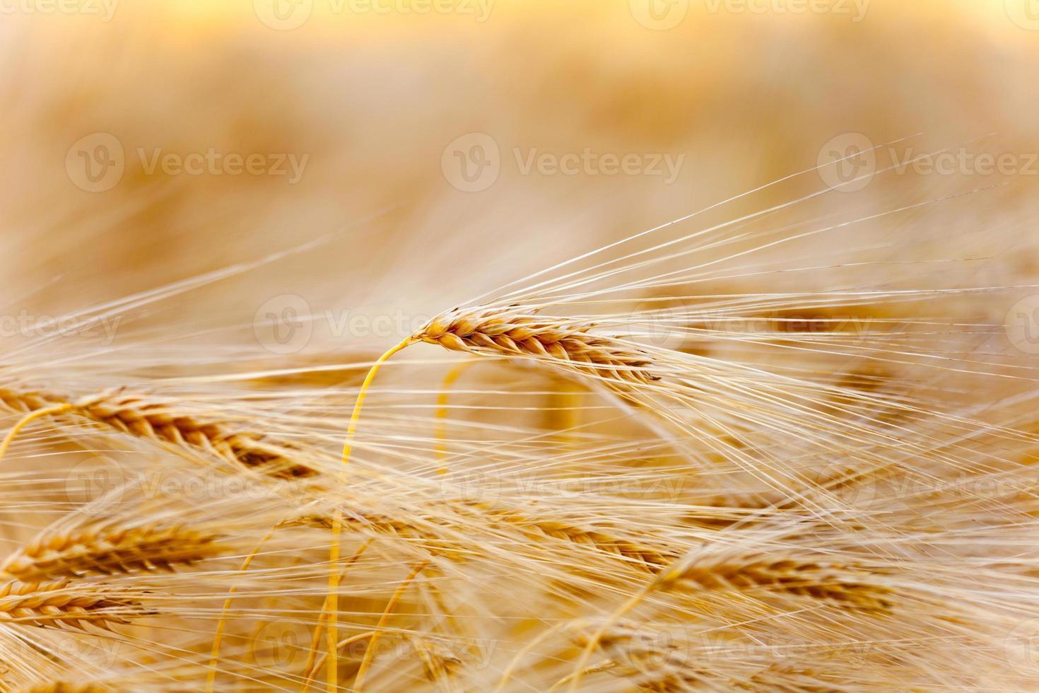 achtergrond met geel oor foto