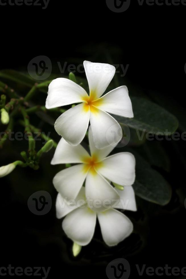 witte plumeria bloem foto