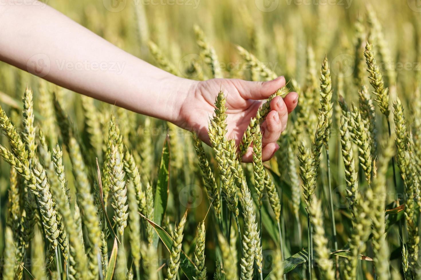 vrouw hand neemt de oren van graan foto