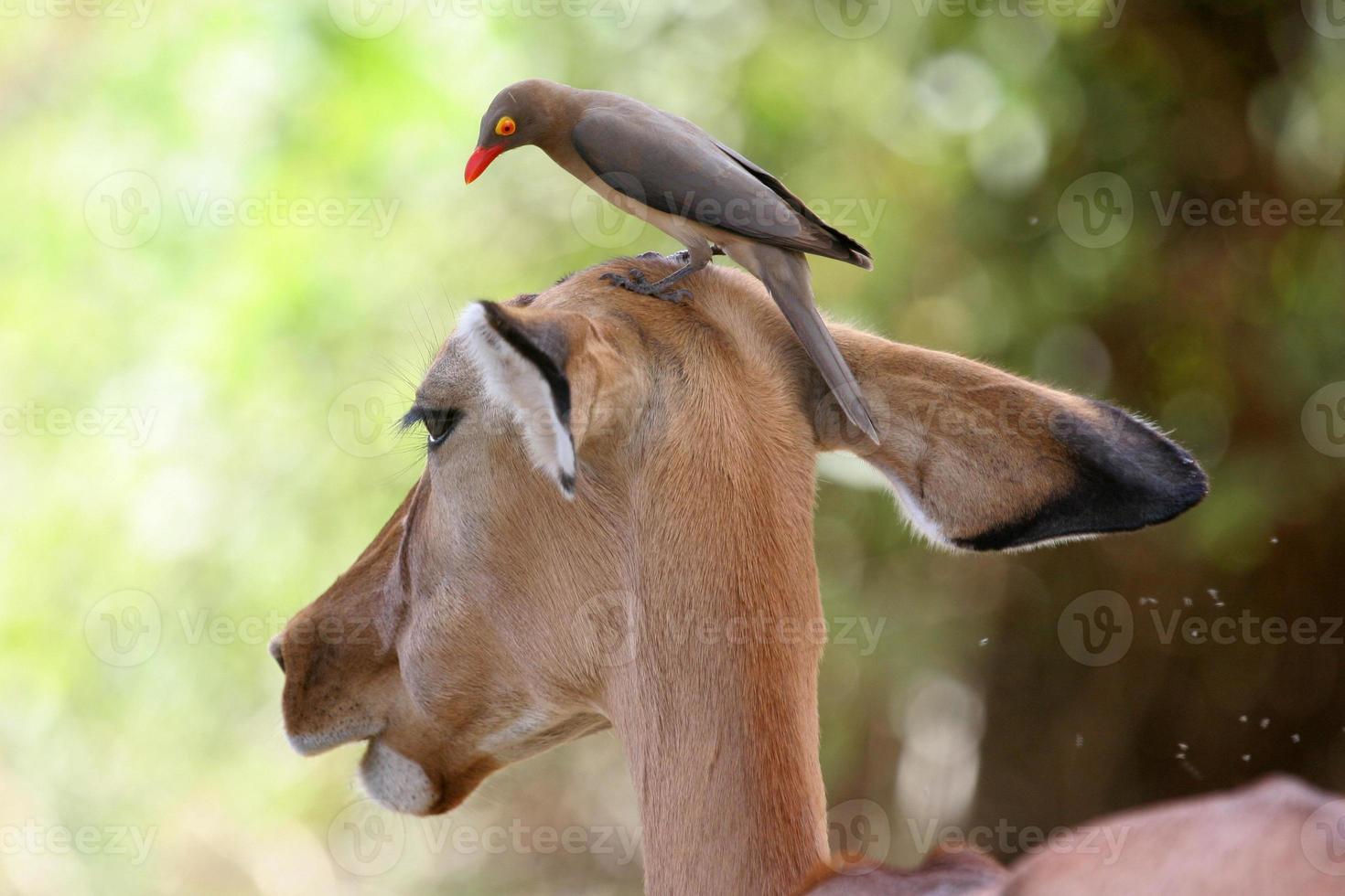 oxpecker en impala foto