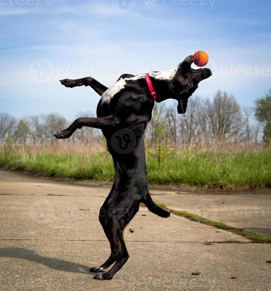 zwarte hond op achterpoten reikend naar oranje bal foto