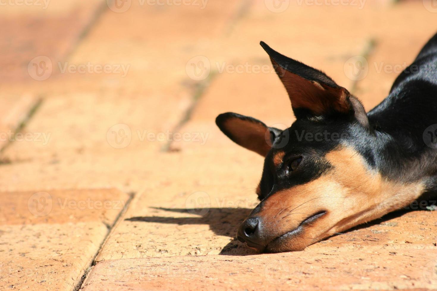 slaperige puppy foto