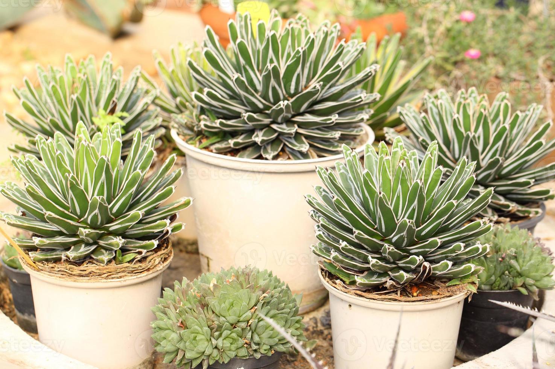 scherpe puntige agave plant bladeren foto