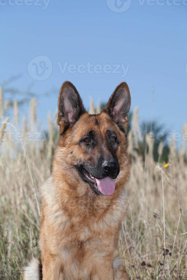 rasechte Duitse herdershond foto