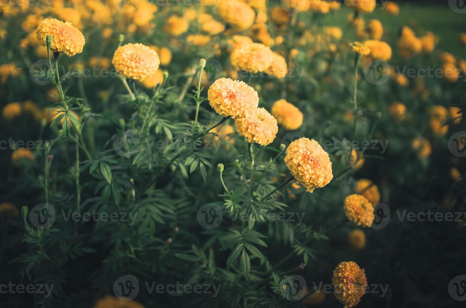 goudsbloemen of Afrikaantje erecta bloem vintage foto