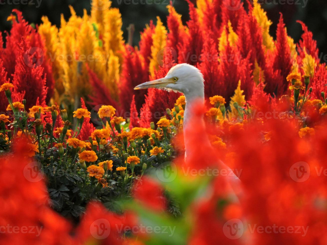 zilverreiger tussen kleurrijke bloemen foto
