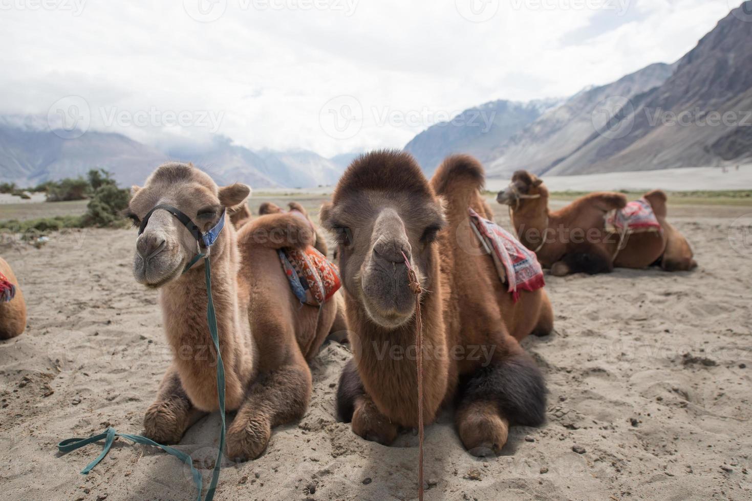 kamelen in de woestijn foto