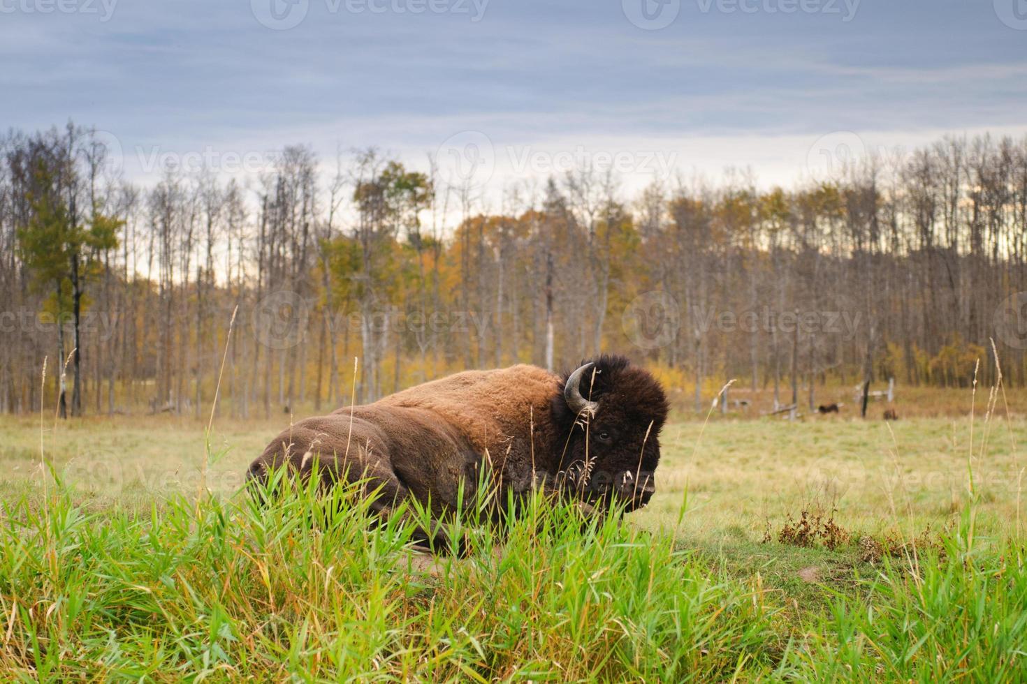 vlakten bizon foto