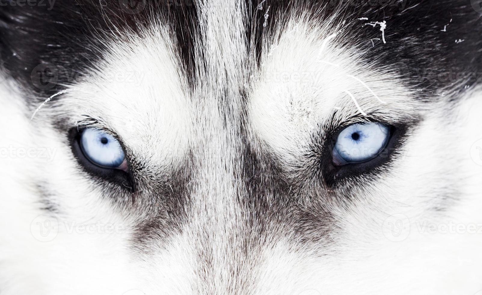 close-up shot van husky hond blauwe ogen foto