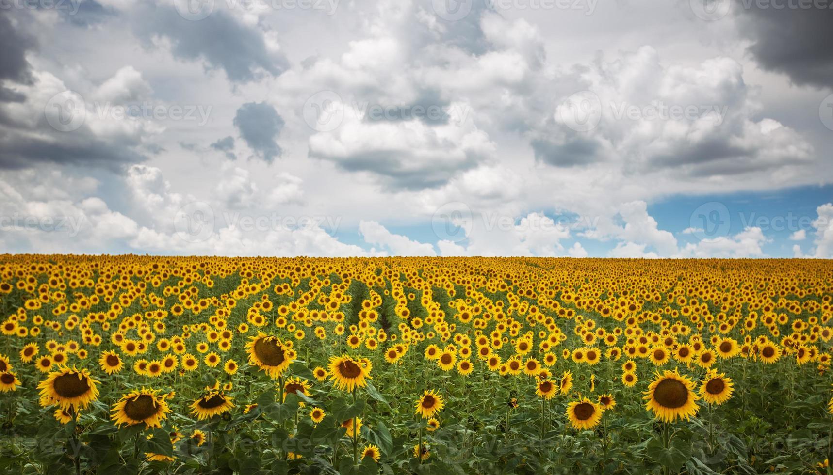 gebied van bloeiende zonnebloemen foto